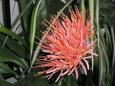 Ismerjük meg a csodás vérvirágot! - Virágdíszek - Szobanövény