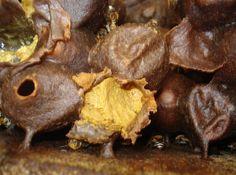 Meliponário Aracruz: Ração protéica para abelhas sem ferrão