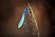 blue dragonfly - IMG_5719-hdri-5-3 by dirk hinz, via Flickr
