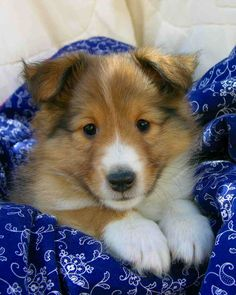 I'm sorry, but Sheltie puppies are the cutest puppies ever!!!