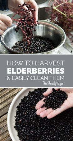 A simple guide for picking and cleaning elderberries. A simple guide for picking and cleaning elderberries. Elderberry Plant, Elderberry Syrup, Elderberry Kombucha, Elderberry Jelly Recipe, Kombucha Recipe, Edible Wild Plants, Wild Edibles, Medicinal Plants, Gardens