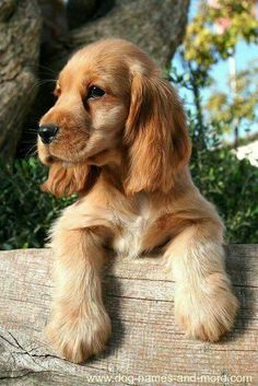 This cute Cocker Spaniel puppy is looking for unique brown dog names. Find more cute pics like these on our site. more here This cute Cocker Spaniel puppy is looking for unique brown dog names. Find more cute pics like these on our site. Big Black Dog Breeds, Black Dogs, Beautiful Dogs, Animals Beautiful, Beautiful Dog Breeds, Brown Dog Names, Perro Cocker Spaniel, Raza Cocker, English Cocker Spaniel Puppies