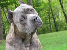 Blue Brindle Cane Corso | Awards and Recognitions:
