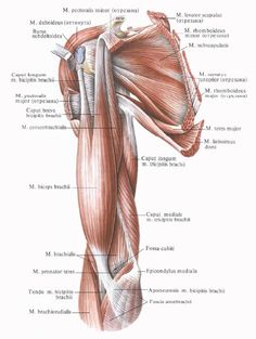 triceps long lateral medial - Google Search