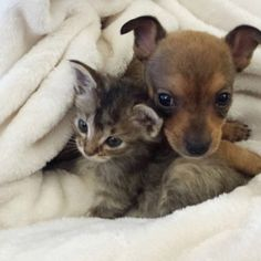 Meet Chip and Adele, the duo that proves we all need friends, especially when we're going through a rough patch. Operation Kindness, a no-kill shelter in Cute Kittens, Cats And Kittens, Tabby Cats, Chihuahua Puppies, Cute Puppies, Dogs And Puppies, Adele, Super Cute Animals, Guide Dog
