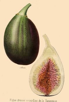 Fig fruit from Revue Horticole.