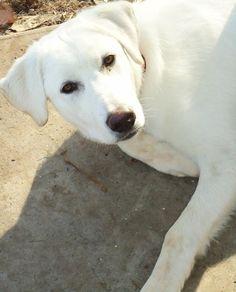 Turkish Akbash Dog / Akbaş Çoban Köpeği #Puppy