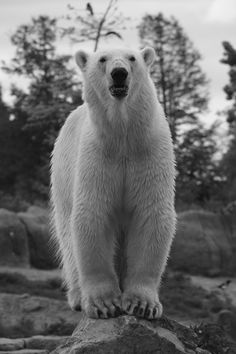 photo of vicks the younge polarbear at rotterdam zoo photo taken by me