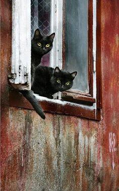 Gatos pretos na janela
