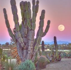 Sunset in the desert. Cactus Photography, Wild Photography, Cacti And Succulents, Cactus Plants, Big Plants, Nature Pictures, Beautiful Pictures, Desert Aesthetic, Desert Cactus