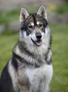Beautiful Northern Inuit Wolf Dog Pups due March 2013 I want one