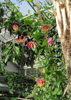 """La Gloriosa""""Gloriosa Rothschildiana"""", meglio conosciuta come Giglio rampicante, appartiene alla famiglia delle Liliacee, ed è una pianta rampicante molto decorativa …"""