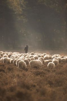 Sheep grazing in Holland