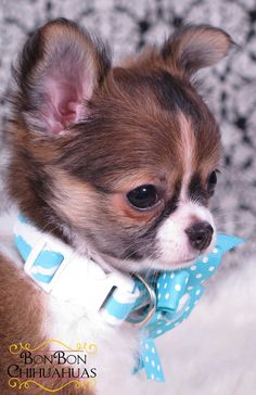 The highest quality chihuahua puppies. Healthy, happy and litterbox trained. BonBonChihuahuas