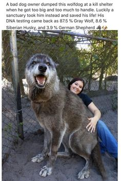animals and pets People often dont realize how big a wolf is.they think about the size of a coyote. Coyotes are usually lbs.NOT A HOUSE PET. Cute Kittens, Cats And Kittens, Wolf Dog Breeds, Wolf Hybrid Dogs, Animals And Pets, Baby Animals, Cat Dog, Cute Funny Animals, Animal Memes