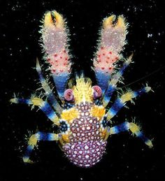 The squat lobster (Galathea pilosa), is a very rare species found in the shallow waters of French Polynesia. It is unique in its bright colouring, but its flattened body with the tail curled under the thorax is typical for its genus. Under The Water, Life Under The Sea, Under The Ocean, Sea And Ocean, Underwater Creatures, Underwater Life, Ocean Creatures, Beautiful Creatures, Animals Beautiful