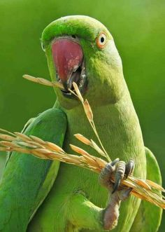 Pretty Birds, Beautiful Birds, Alexandrine Parrot, Ring Necked Parakeet, Green Parakeet, Wildlife Of India, Colorful Parrots, Parrot Bird, Bird Perch