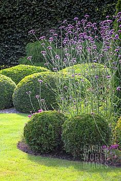 Topiary verbena bonariensis i used to grow it with head popping up above lower flowers. this verbena can grow to 6 ft tall. a fav Boxwood Garden, Garden Shrubs, Garden Plants, Garden Landscaping, Verbena, Mediterranean Garden, Formal Gardens, Garden Borders, Plantation