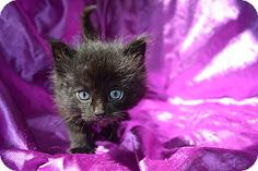 East Smithfield, PA - Domestic Mediumhair. Meet Sky, a kitten for adoption. http://www.adoptapet.com/pet/15502263-east-smithfield-pennsylvania-kitten