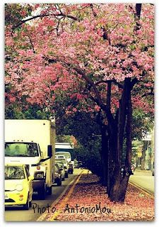 Abril en Rosa  Así se visten de hermosos los apamates en mi ciudad, Maracay :-) - Bellisimo