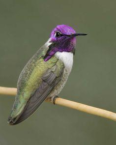 Costa' Hummingbird - Green Valley, Arizona Audubon Society, Hummingbird Tattoo, Green Valley, Owl Bird, Winter House, Little Birds, Colorful Birds, Bird Feathers, Beautiful Birds