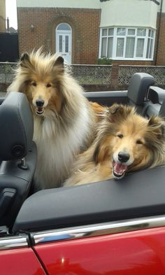 HAPPY, BEAUTIFUL SABLE ROUGH COAT COLLIES GOING FOR A RIDE :D <3<3<3<3<3<3<3
