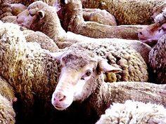 'Schafe - welches ist der Wolf?' von Dirk h. Wendt bei artflakes.com als Poster oder Kunstdruck $18.03