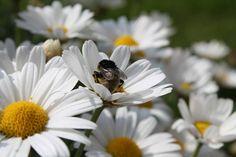 #mary_fotografie #flowerslovers #flower #flowers #blumen #blume #garten #garden #biene #bee #summer #sommer #spring #frühling #photography #natur #nature #magaritte #canon #canon1100d http://gelinshop.com/ipost/1523135500708564635/?code=BUjQ6sAhU6b