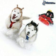 Whoa!!  Huskies love to pull!!