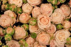 Queen of all spray roses - Bombastic pale pink spray roses at New Covent Garden Flower Market.