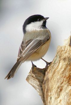 """Catharines favorite kind of bird, she really loved chickadees, that's why Sebastian called her """"little bird"""" Mais Pretty Birds, Love Birds, Beautiful Birds, Animals Beautiful, Cute Animals, Funny Animals, Small Birds, Little Birds, Colorful Birds"""