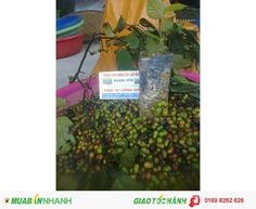 Hạt giống cây xoan đào chính gốc tại Tuyên Quang giá tốt