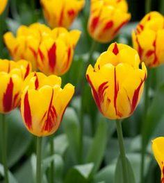 Tulpen, narcissen, krokussen en andere voorjaarsbollen in de herfst of najaar planten in de tuin