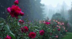 ROSE GARDEN || ♥ we-love-rain ت
