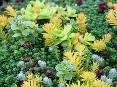 How to Grow and Care for Sedum - See more at: http://worldofsucculents.com/how-to-grow-and-care-for-sedum/