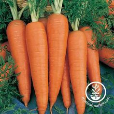 PARIS MARKET 1000 Seeds ..little round roots, quick /& easy to grow CARROT