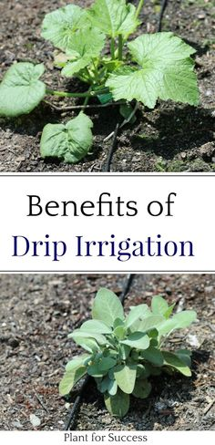 Drip irrigation has so many benefits and is the best way to water vegetables. Save money, water, and get healthier plants by installing a diy drip irrigation system. When To Prune Hydrangeas, Farm Layout, Drip Irrigation System, Container Vegetables, Garden Projects, Garden Tips, Living Off The Land, Backyard Farming, Organic Gardening Tips