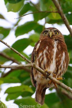 Glaucidium brasilianum - Ferruginous Pygmy Owl (Glaucidium brasilianum) --------  Iquitos, Loreto, Peru
