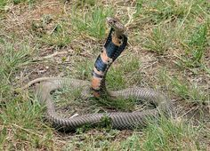 Mozambique Spitting Cobra (Naja mossambica)   Flickr - Photo Sharing!