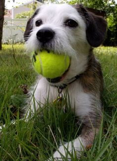 """thefluffingtonpost: Terrier Is First Canine Ball Boy at U.S. Open A Jack Russel Terrier named Linus made history this week as the first dog to serve as ball boy for the U.S. Open tennis tournament in Queens, NY. """"It's a great day for dogs and sports fans everywhere,"""" says Mallory Buitron, a canine rights advocate. """"Next up, Augusta National Golf Club."""" Via Chris Martin."""