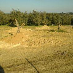 Recién plantados los olivos tumbados por el viento