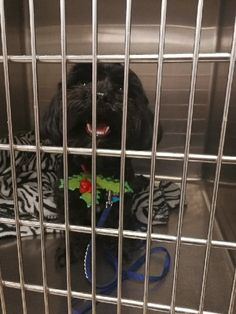 ADOPTED!!  Adoption Status Unknown - Mary Esther, FL - Si, an adoptable 3 yr old male Shih Tzu & Poodle Mix, looking for a forever home; LOCATED at Save UnderDogs, Mary Esther, FL