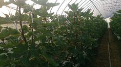 2013.11月のグリーンエコスター出庭農園のイチジク④