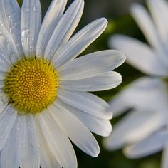 my favorite - the Daisy