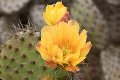 Coastal Prickly Pear Cactus - Island of the Blue Dolphins (U.S. National Park Service)