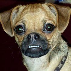 Zwergpinscher-Mops-Mischling Josy Ich hab die Zähne schön…   #Hund: Josy / #Rasse: Zwergpinscher-Mops-Mischling      Mehr Fotos: https://magazin.dogs-2-love.com/foto/zwergpinscher-mops-mischling-josy/ Foto, Hund, Rasse, Tier