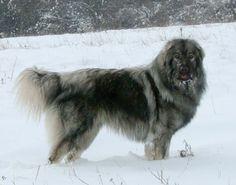 Yugoslav Shepherd Dog-Šarplaninac