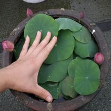 10 seeds/pack Hydroponic seeds plant raw water bowl lotus seed raising small sowing seasons(China (Mainland))