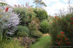 Front Yard Garden Design Recently when I judged The Chronicle Garden Competition, preceding Toowoomba's Carnival of Flowers, I chose 'Terrara', a garden growing mainly Australian native plants as Gra… Australian Garden Design, Australian Native Garden, Australian Plants, Australian Flowers, Sloped Garden, Garden Beds, Garden Plants, Gardening Vegetables, Outdoor Plants