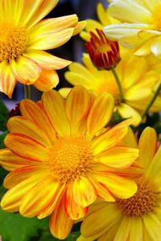 Yellow Daisies, such a bright and happy color